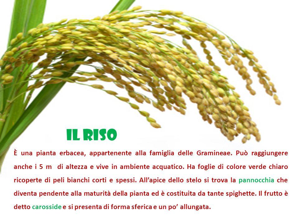 È una pianta erbacea, appartenente alla famiglia delle Gramineae.