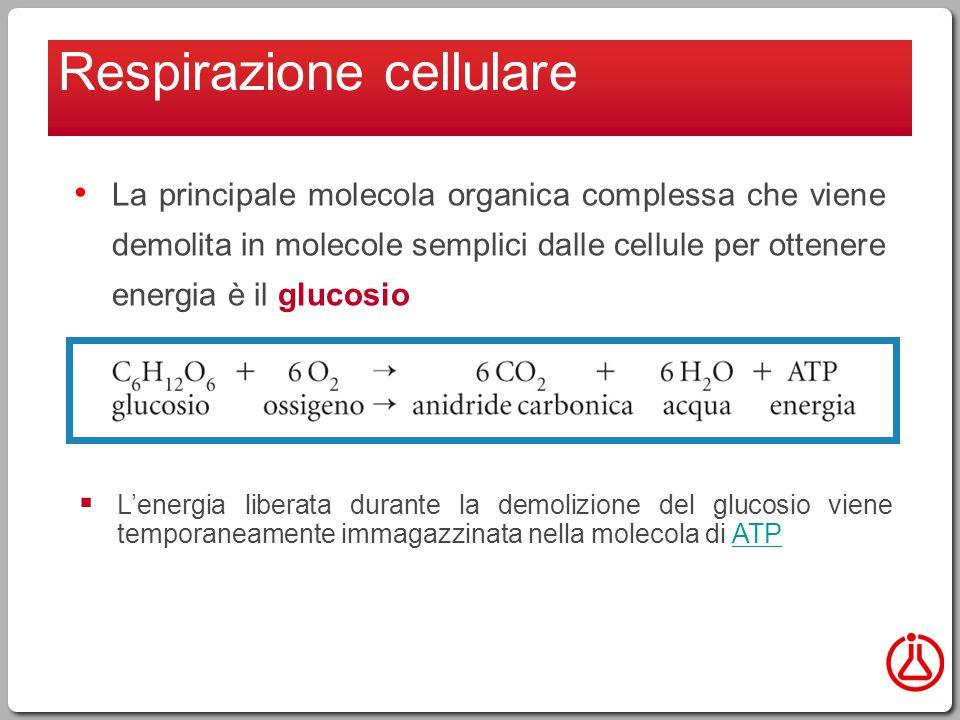 Respirazione cellulare La principale molecola organica complessa che viene demolita in molecole semplici dalle cellule per ottenere energia è il glucosio  L'energia liberata durante la demolizione del glucosio viene temporaneamente immagazzinata nella molecola di ATPATP
