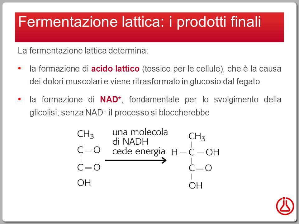 La fermentazione lattica determina: la formazione di acido lattico (tossico per le cellule), che è la causa dei dolori muscolari e viene ritrasformato in glucosio dal fegato la formazione di NAD +, fondamentale per lo svolgimento della glicolisi; senza NAD + il processo si bloccherebbe Fermentazione lattica: i prodotti finali
