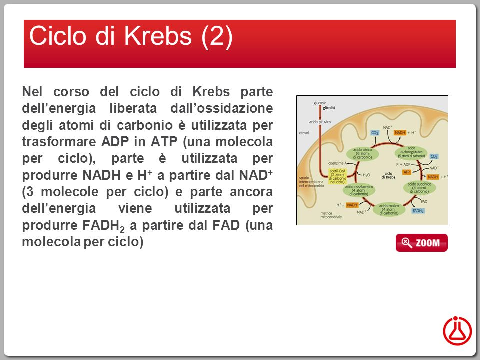 Nel corso del ciclo di Krebs parte dell'energia liberata dall'ossidazione degli atomi di carbonio è utilizzata per trasformare ADP in ATP (una molecola per ciclo), parte è utilizzata per produrre NADH e H + a partire dal NAD + (3 molecole per ciclo) e parte ancora dell'energia viene utilizzata per produrre FADH 2 a partire dal FAD (una molecola per ciclo) Ciclo di Krebs (2)
