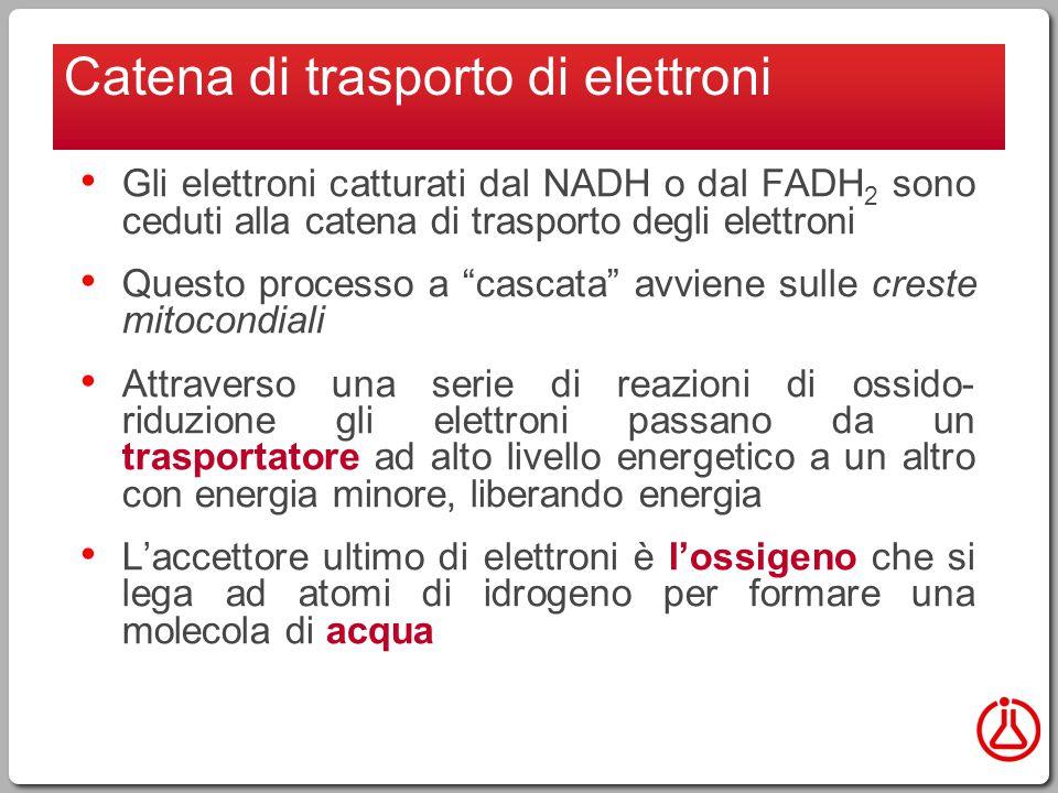 Gli elettroni catturati dal NADH o dal FADH 2 sono ceduti alla catena di trasporto degli elettroni Questo processo a cascata avviene sulle creste mitocondiali Attraverso una serie di reazioni di ossido- riduzione gli elettroni passano da un trasportatore ad alto livello energetico a un altro con energia minore, liberando energia L'accettore ultimo di elettroni è l'ossigeno che si lega ad atomi di idrogeno per formare una molecola di acqua Catena di trasporto di elettroni