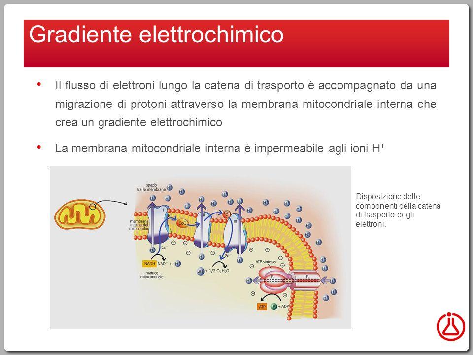 Il flusso di elettroni lungo la catena di trasporto è accompagnato da una migrazione di protoni attraverso la membrana mitocondriale interna che crea un gradiente elettrochimico La membrana mitocondriale interna è impermeabile agli ioni H + Gradiente elettrochimico Disposizione delle componenti della catena di trasporto degli elettroni.