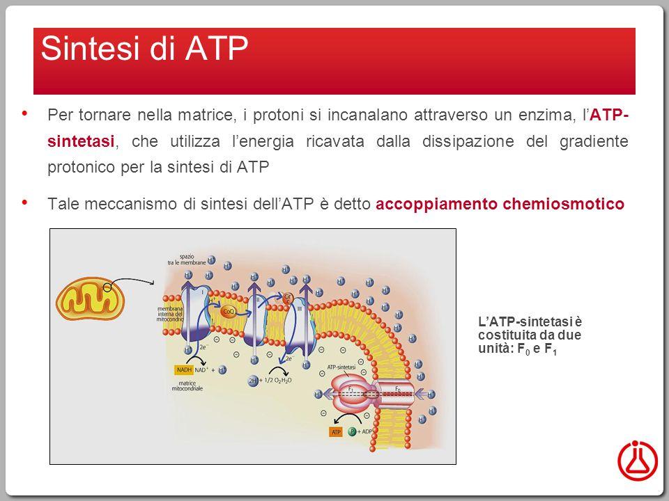 Per tornare nella matrice, i protoni si incanalano attraverso un enzima, l'ATP- sintetasi, che utilizza l'energia ricavata dalla dissipazione del gradiente protonico per la sintesi di ATP Tale meccanismo di sintesi dell'ATP è detto accoppiamento chemiosmotico Sintesi di ATP L'ATP-sintetasi è costituita da due unità: F 0 e F 1