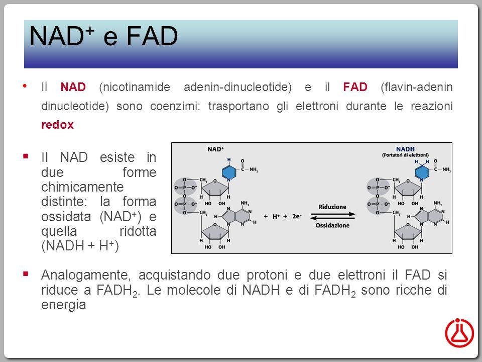 NAD + e FAD Il NAD (nicotinamide adenin-dinucleotide) e il FAD (flavin-adenin dinucleotide) sono coenzimi: trasportano gli elettroni durante le reazioni redox  Analogamente, acquistando due protoni e due elettroni il FAD si riduce a FADH 2.
