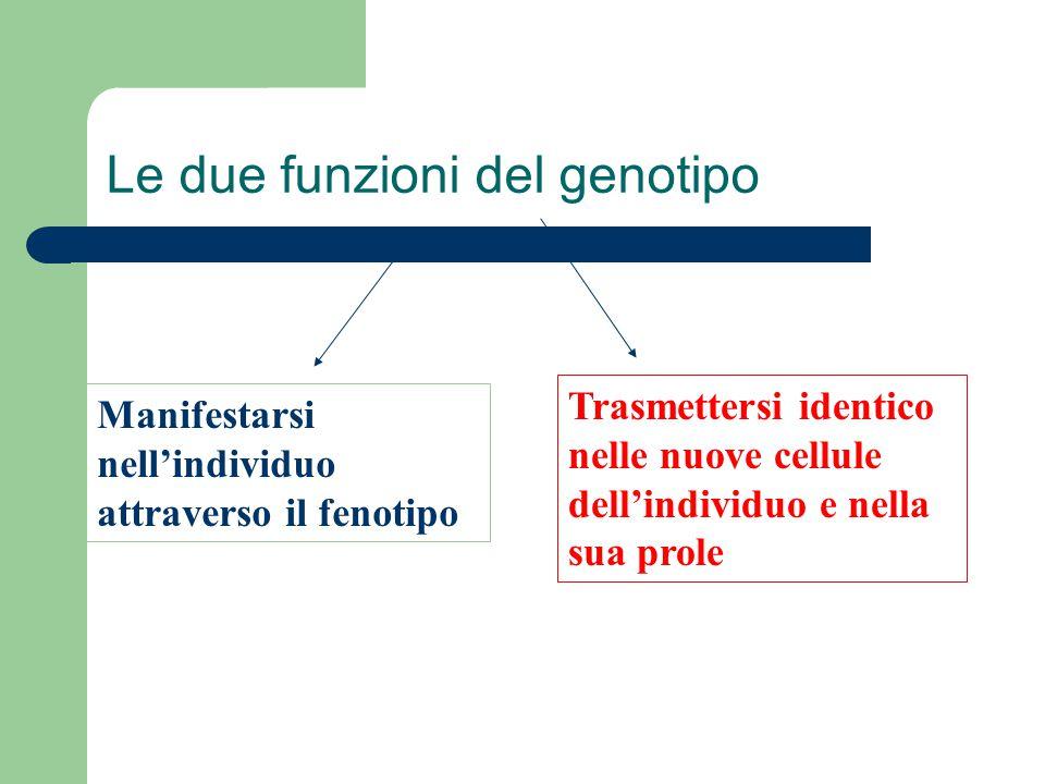 Le due funzioni del genotipo Manifestarsi nell'individuo attraverso il fenotipo Trasmettersi identico nelle nuove cellule dell'individuo e nella sua p