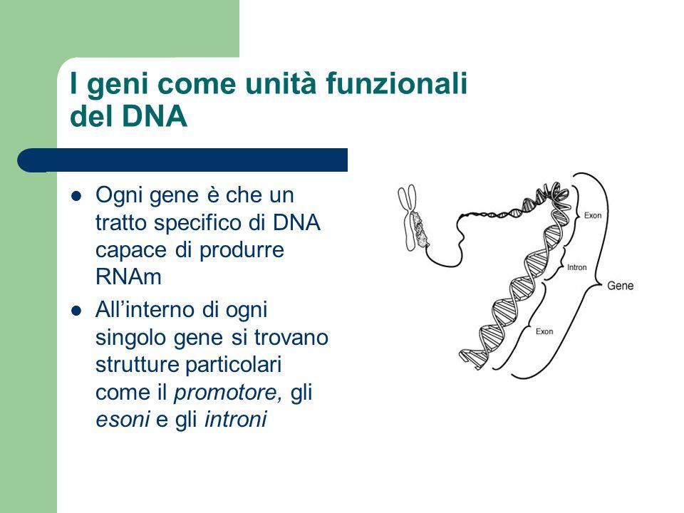 I geni come unità funzionali del DNA Ogni gene è che un tratto specifico di DNA capace di produrre RNAm All'interno di ogni singolo gene si trovano st