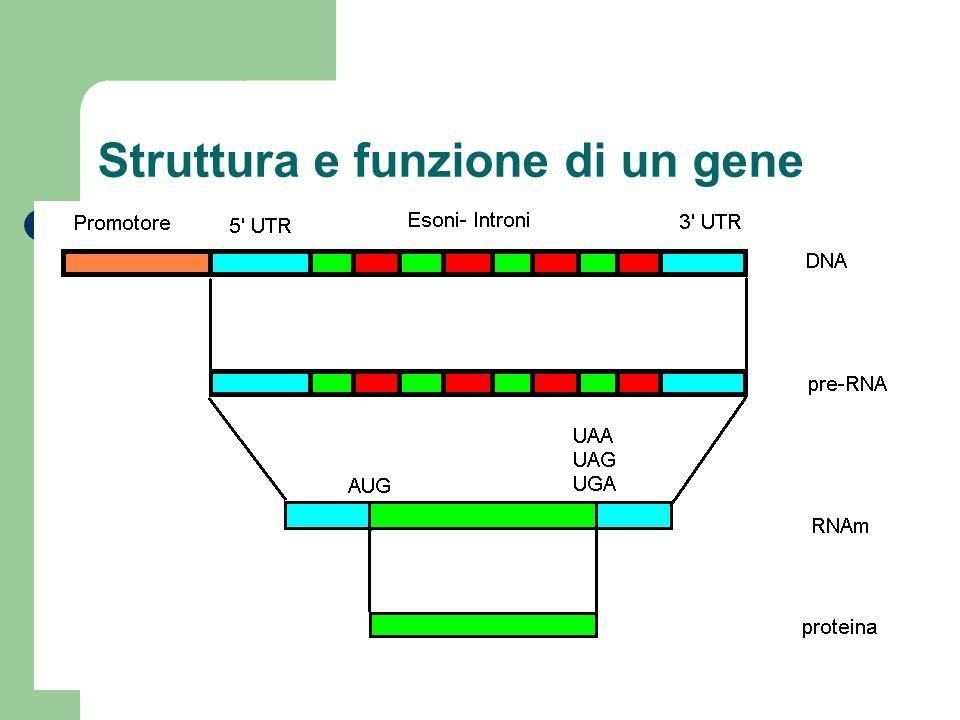 Struttura e funzione di un gene