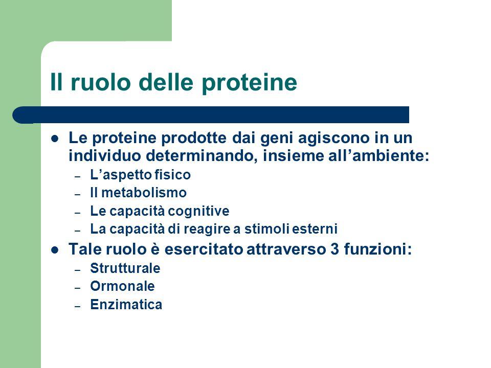 Il ruolo delle proteine Le proteine prodotte dai geni agiscono in un individuo determinando, insieme all'ambiente: – L'aspetto fisico – Il metabolismo
