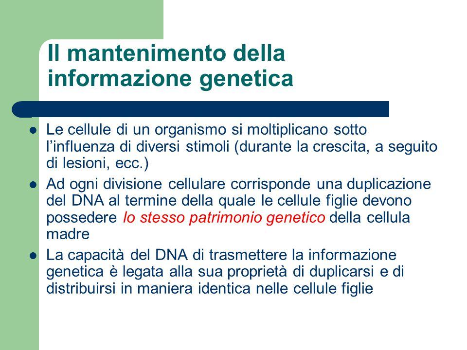 Il mantenimento della informazione genetica Le cellule di un organismo si moltiplicano sotto l'influenza di diversi stimoli (durante la crescita, a se