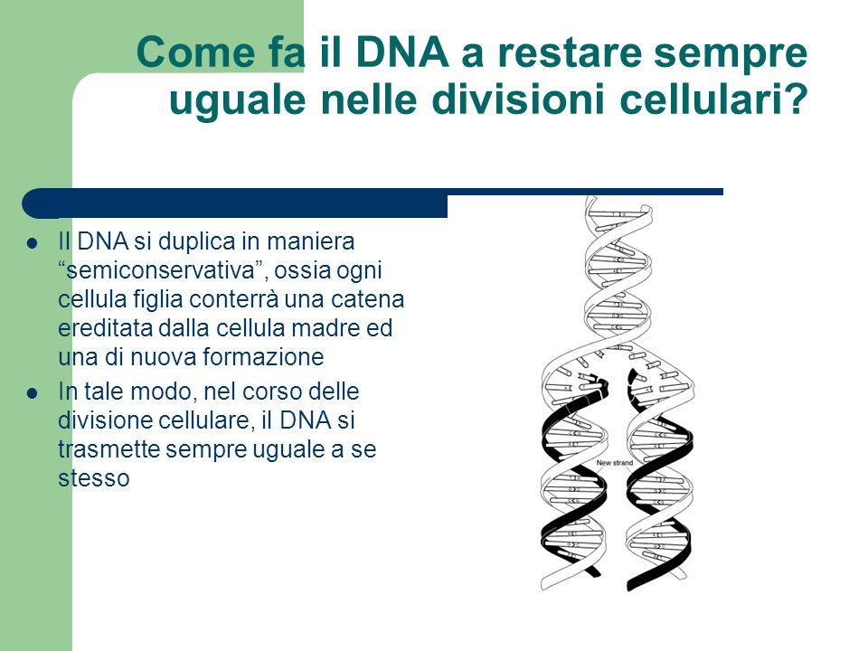 """Come fa il DNA a restare sempre uguale nelle divisioni cellulari? Il DNA si duplica in maniera """"semiconservativa"""", ossia ogni cellula figlia conterrà"""
