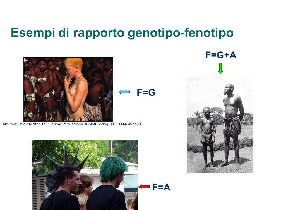 Esempi di rapporto genotipo-fenotipo http://www.bio.davidson.edu/Courses/Immunology/Students/Spring2003/Leese/albino.gif F=G F=A F=G+A