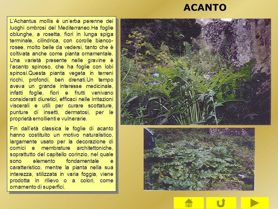 L'Achantus mollis è un'erba perenne dei luoghi ombrosi del Mediterraneo.Ha foglie oblunghe, a rosetta, fiori in lunga spiga terminale, cilindrica, con