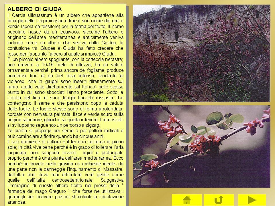 ALBERO DI GIUDA ll Cercis siliquastrum è un albero che appartiene alla famiglia delle Leguminosae e trae il suo nome dal greco kerkis (spola da tessit