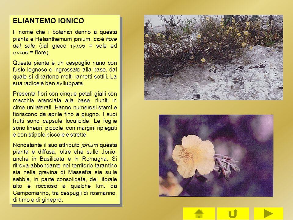 ELIANTEMO IONICO Il nome che i botanici danno a questa pianta è Helianthemum jonium, cioè fiore del sole (dal greco  = sole ed  = fiore). Qu