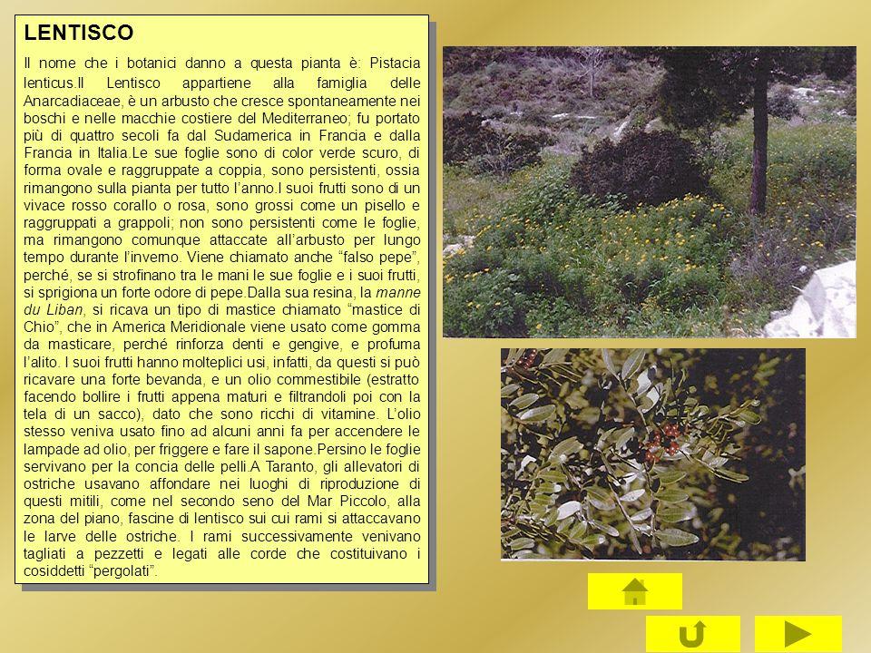 LENTISCO Il nome che i botanici danno a questa pianta è: Pistacia lenticus.Il Lentisco appartiene alla famiglia delle Anarcadiaceae, è un arbusto che