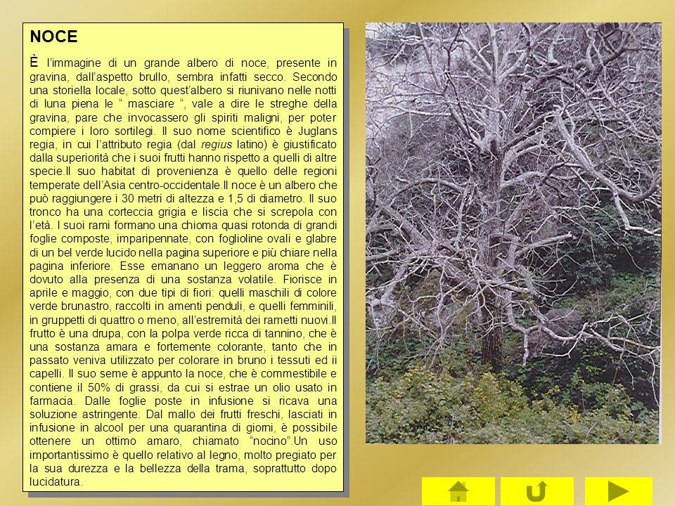 NOCE È l'immagine di un grande albero di noce, presente in gravina, dall'aspetto brullo, sembra infatti secco. Secondo una storiella locale, sotto que