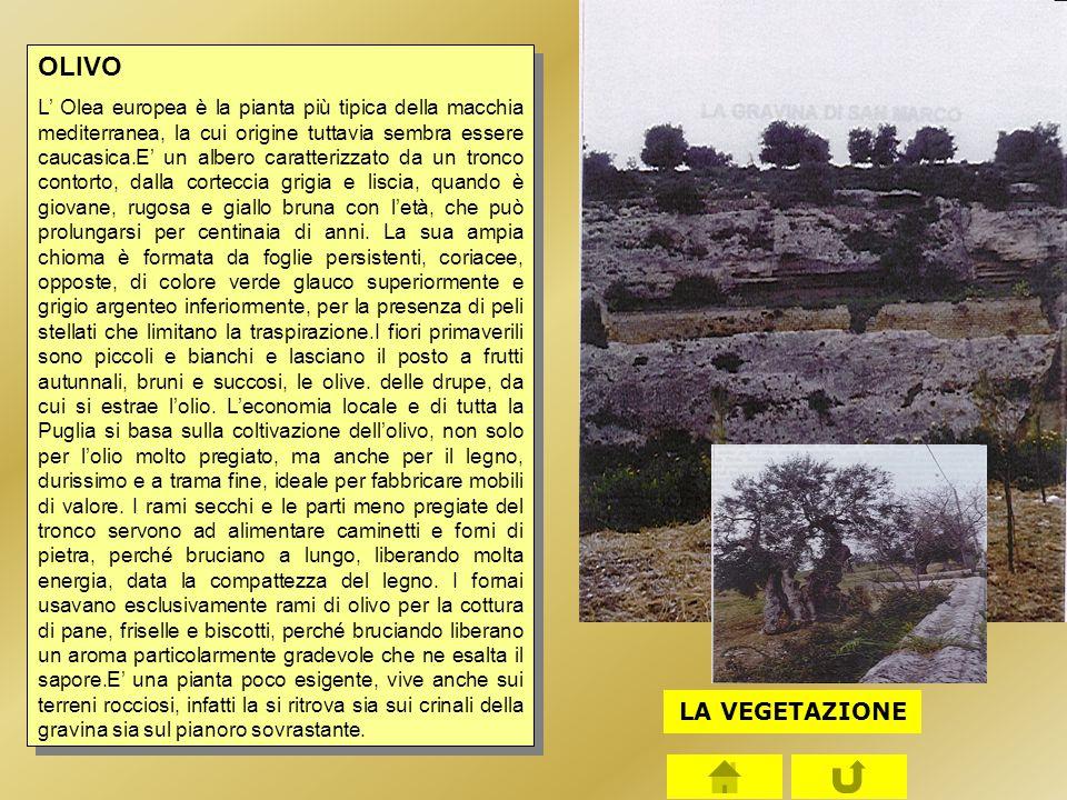 OLIVO L' Olea europea è la pianta più tipica della macchia mediterranea, la cui origine tuttavia sembra essere caucasica.E' un albero caratterizzato d