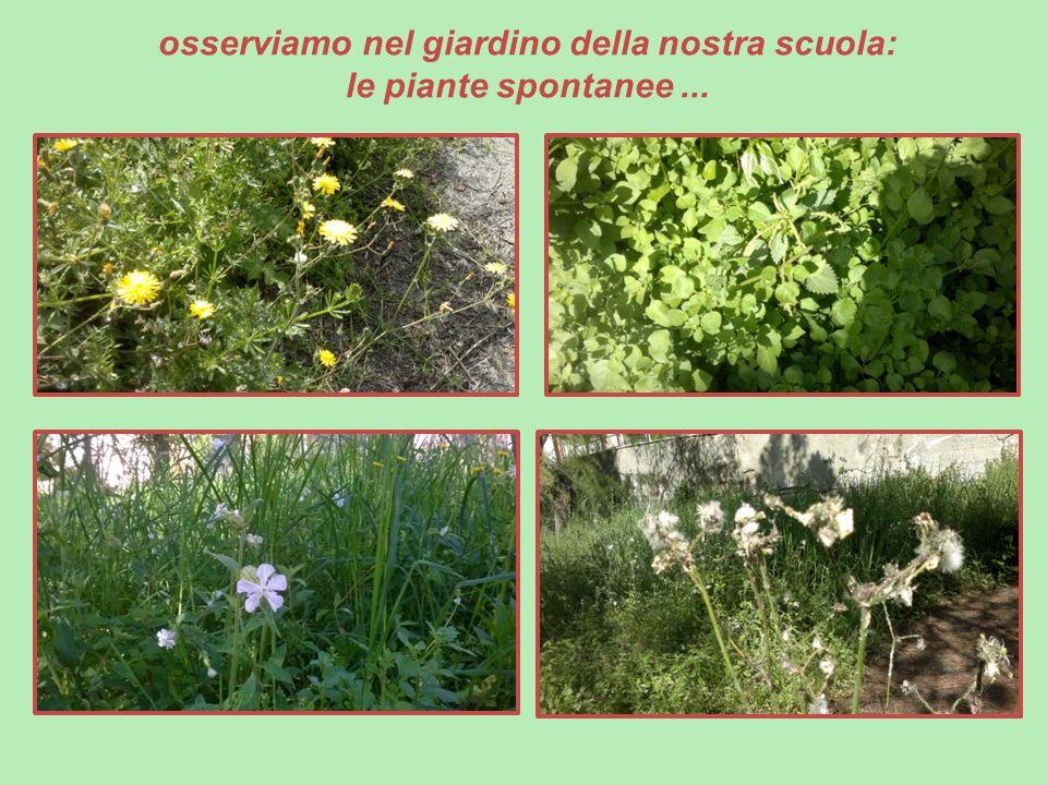 osserviamo nel giardino della nostra scuola: le piante spontanee...