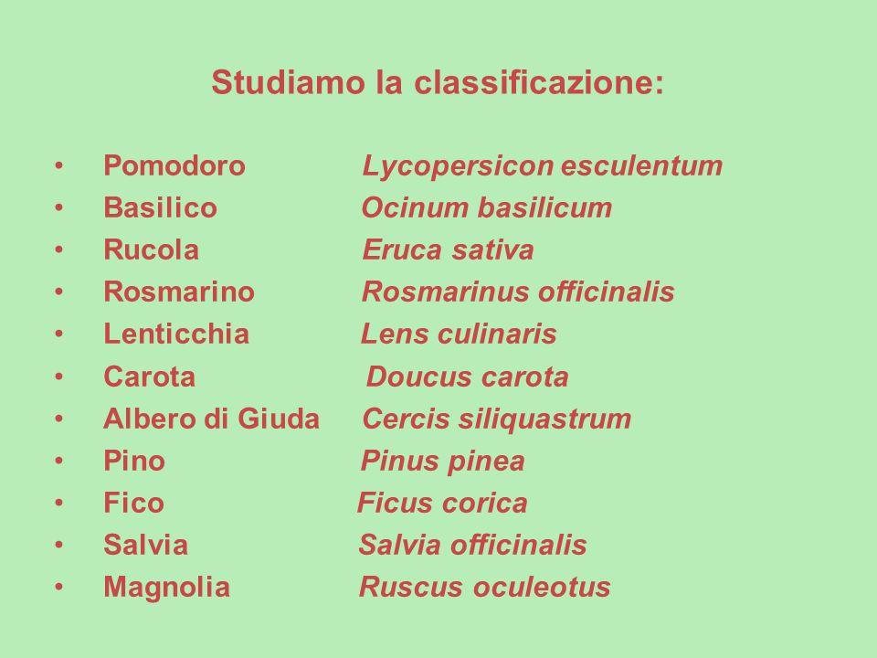 Studiamo la classificazione: Pomodoro Lycopersicon esculentum Basilico Ocinum basilicum Rucola Eruca sativa Rosmarino Rosmarinus officinalis Lenticchi