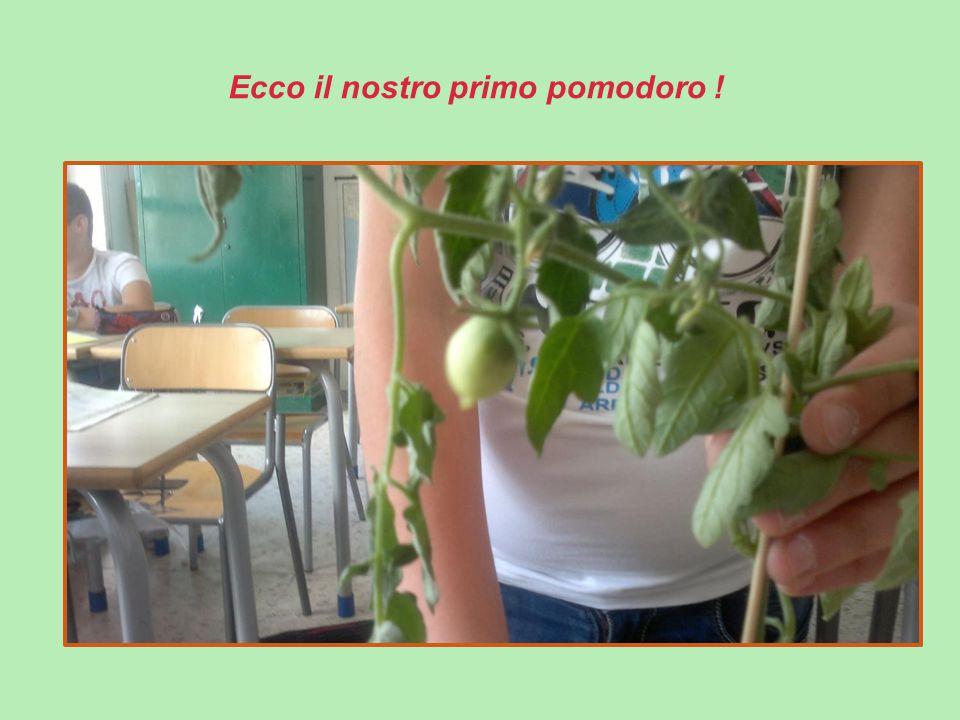 Ecco il nostro primo pomodoro !