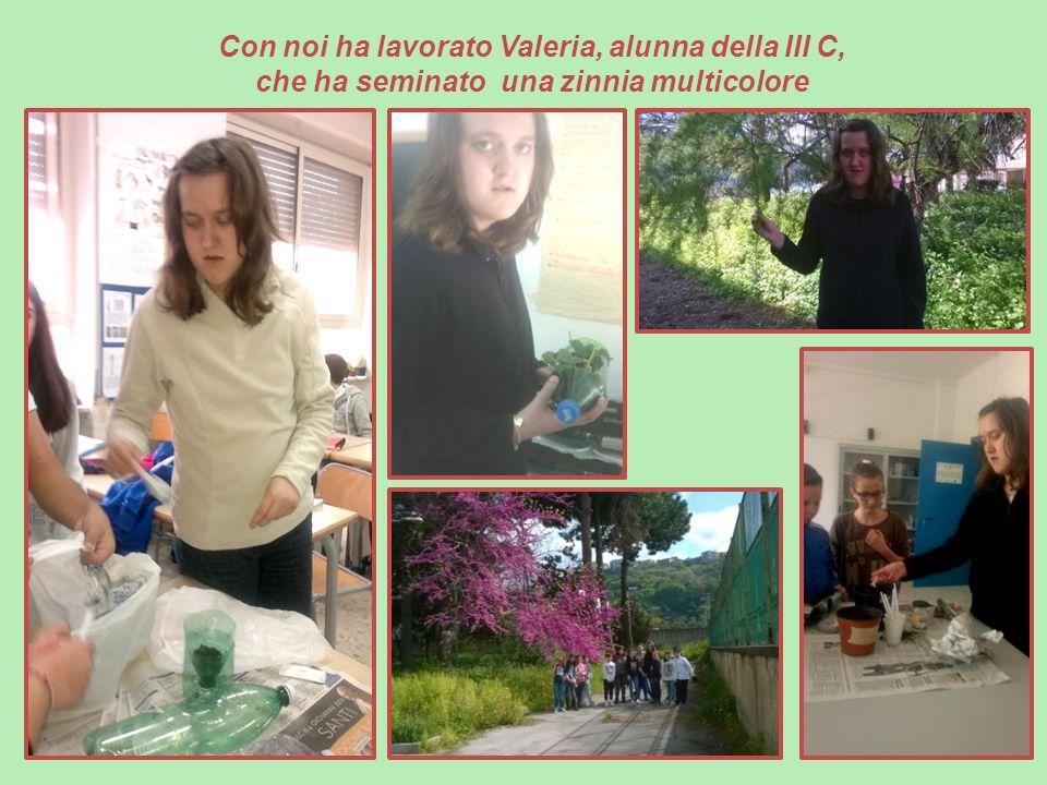 Con noi ha lavorato Valeria, alunna della III C, che ha seminato una zinnia multicolore