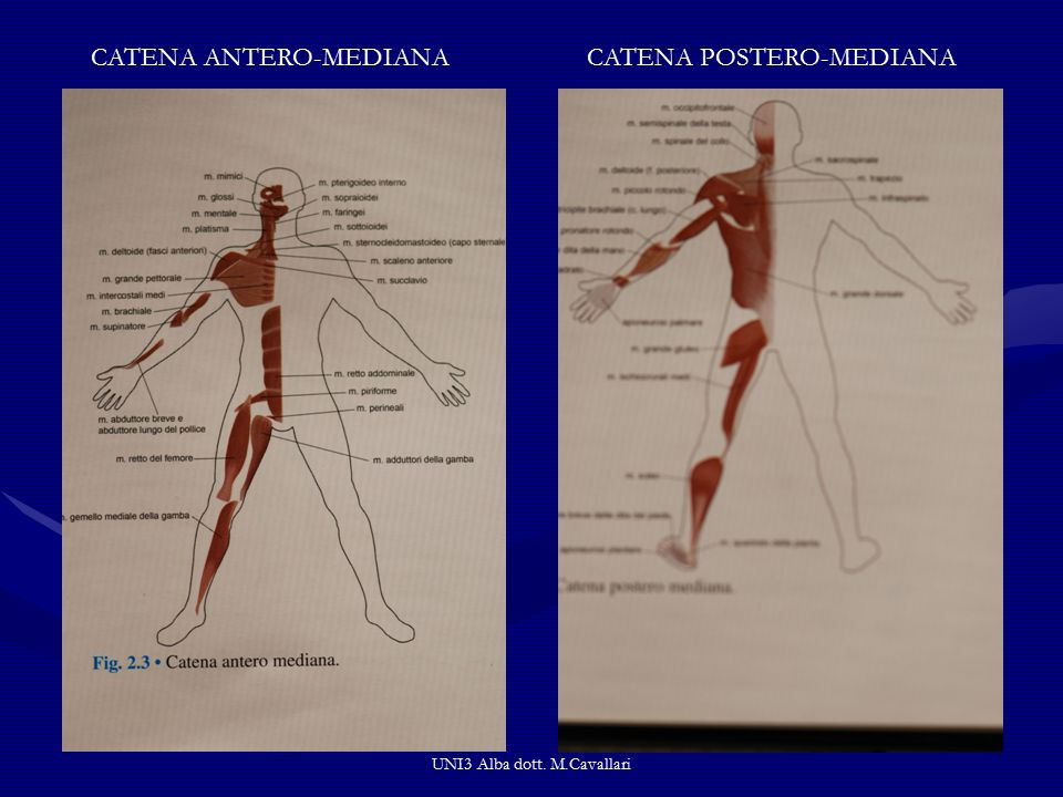 UNI3 Alba dott. M.Cavallari CATENA ANTERO-MEDIANACATENA POSTERO-MEDIANA
