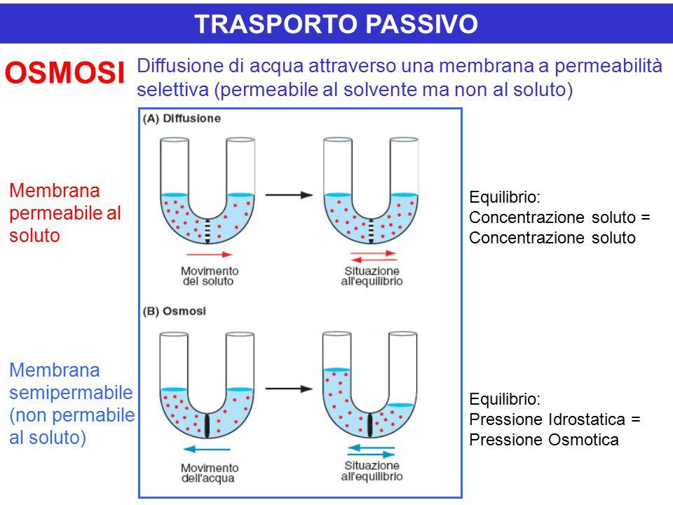Diffusione di acqua attraverso una membrana a permeabilità selettiva (permeabile al solvente ma non al soluto) TRASPORTO PASSIVO OSMOSI Equilibrio: Concentrazione soluto = Concentrazione soluto Equilibrio: Pressione Idrostatica = Pressione Osmotica Membrana permeabile al soluto Membrana semipermabile (non permabile al soluto)