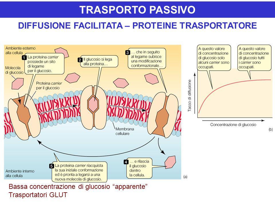 DIFFUSIONE FACILITATA – PROTEINE TRASPORTATORE Bassa concentrazione di glucosio apparente Trasportatori GLUT TRASPORTO PASSIVO