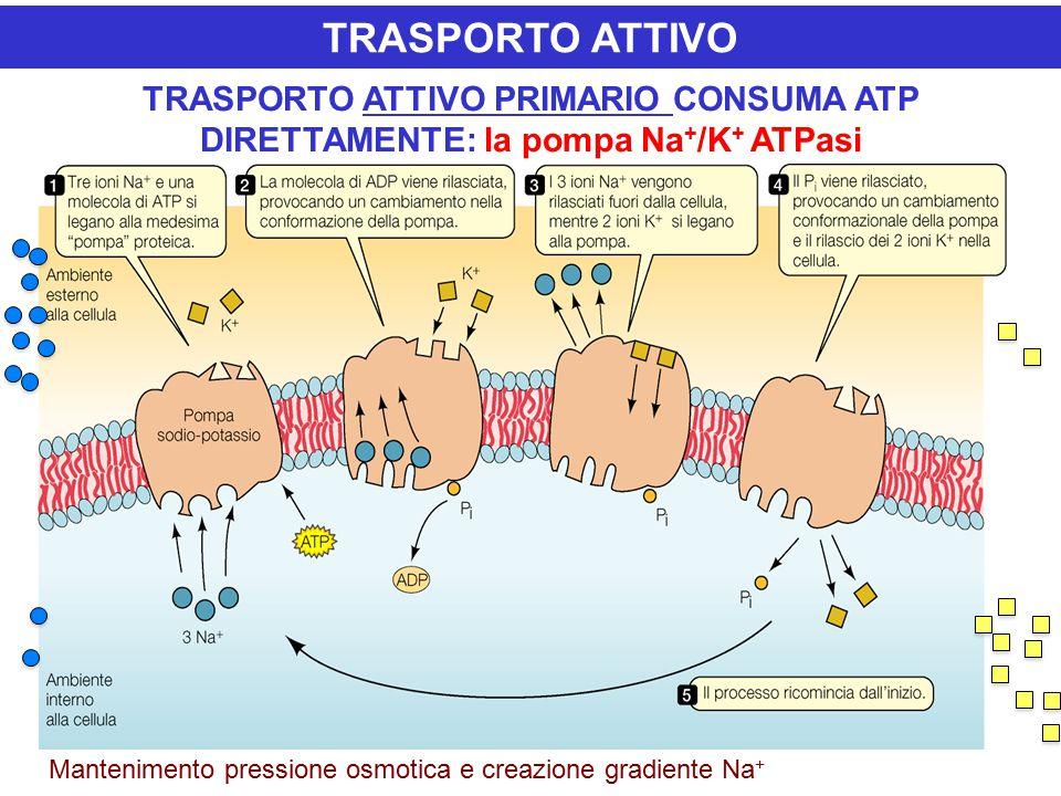 TRASPORTO ATTIVO PRIMARIO CONSUMA ATP DIRETTAMENTE: la pompa Na + /K + ATPasi TRASPORTO ATTIVO Mantenimento pressione osmotica e creazione gradiente Na +