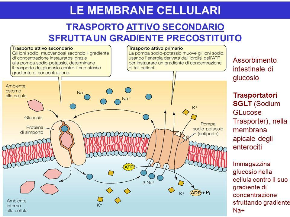 LE MEMBRANE CELLULARI TRASPORTO ATTIVO SECONDARIO SFRUTTA UN GRADIENTE PRECOSTITUITO Assorbimento intestinale di glucosio Trasportatori SGLT (Sodium GLucose Trasporter), nella membrana apicale degli enterociti Immagazzina glucosio nella cellula contro il suo gradiente di concentrazione sfruttando gradiente Na+