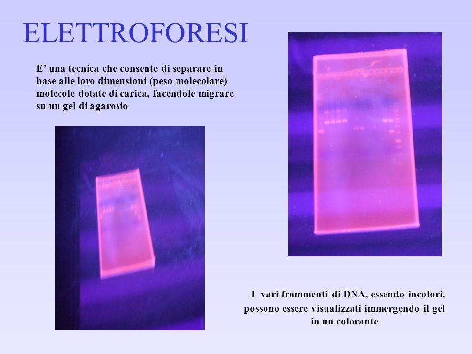 I vari frammenti di DNA, essendo incolori, possono essere visualizzati immergendo il gel in un colorante E' una tecnica che consente di separare in ba