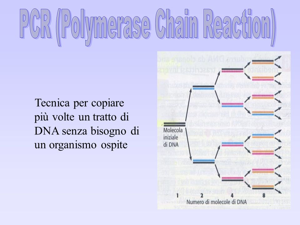 Tecnica per copiare più volte un tratto di DNA senza bisogno di un organismo ospite