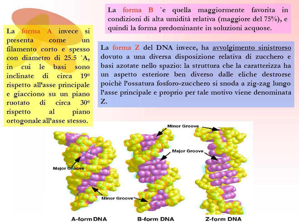 La forma Z del DNA invece, ha avvolgimento sinistrorso dovuto a una diversa disposizione relativa di zucchero e basi azotate nello spazio: la struttura che la caratterizza ha un aspetto esteriore ben diverso dalle eliche destrorse poichè l'ossatura fosforo-zucchero si snoda a zig-zag lungo l'asse principale e proprio per tale motivo viene denominata Z.