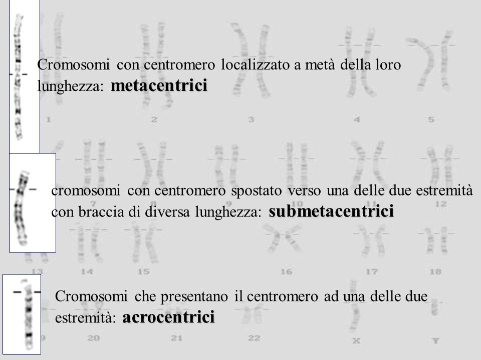 Cromosomi con centromero localizzato a metà della loro metacentrici lunghezza: metacentrici cromosomi con centromero spostato verso una delle due estremità submetacentrici con braccia di diversa lunghezza: submetacentrici Cromosomi che presentano il centromero ad una delle due acrocentrici estremità: acrocentrici