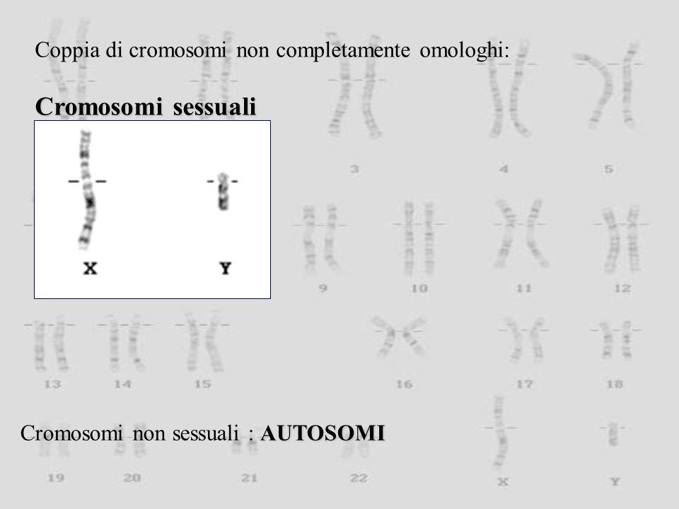 Coppia di cromosomi non completamente omologhi: Cromosomi sessuali AUTOSOMI Cromosomi non sessuali : AUTOSOMI