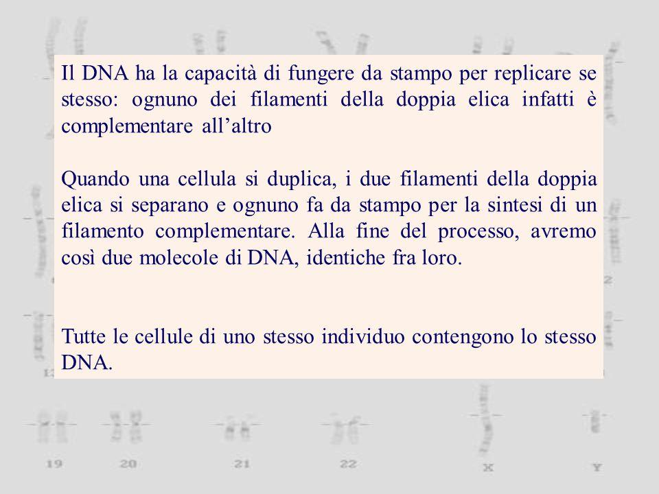 Il DNA ha la capacità di fungere da stampo per replicare se stesso: ognuno dei filamenti della doppia elica infatti è complementare all'altro Quando una cellula si duplica, i due filamenti della doppia elica si separano e ognuno fa da stampo per la sintesi di un filamento complementare.