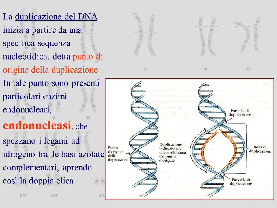 duplicazione del DNA La duplicazione del DNA inizia a partire da una specifica sequenza nucleotidica, detta punto di origine della duplicazione In tale punto sono presenti particolari enzimi endonucleari, endonucleasi, che spezzano i legami ad idrogeno tra le basi azotate complementari, aprendo così la doppia elica