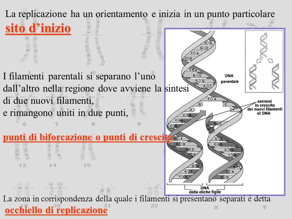 La replicazione ha un orientamento e inizia in un punto particolare sito d'inizio I filamenti parentali si separano l'uno dall'altro nella regione dove avviene la sintesi di due nuovi filamenti, e rimangono uniti in due punti, punti di biforcazione o punti di crescita La zona in corrispondenza della quale i filamenti si presentano separati è detta occhiello di replicazione