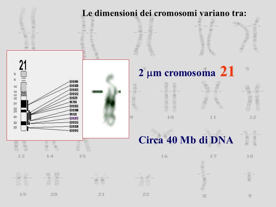 21 2  m cromosoma 21 Circa 40 Mb di DNA Le dimensioni dei cromosomi variano tra: