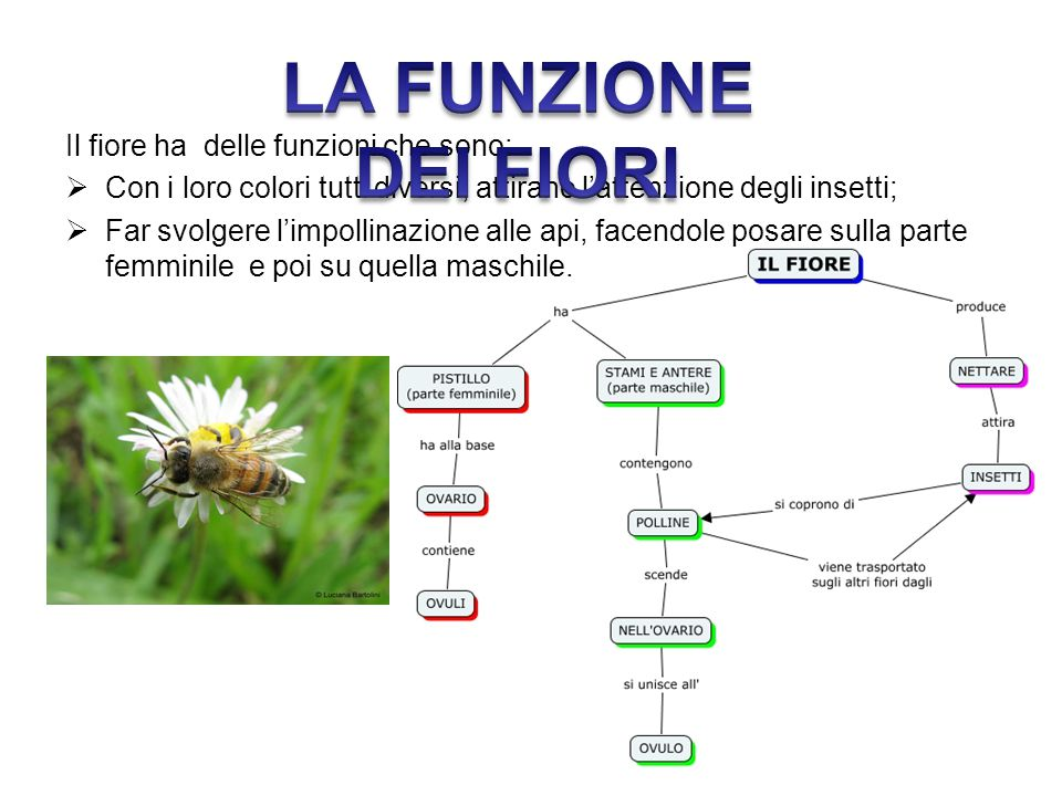 Il fiore ha delle funzioni che sono:  Con i loro colori tutti diversi, attirano l'attenzione degli insetti;  Far svolgere l'impollinazione alle api,