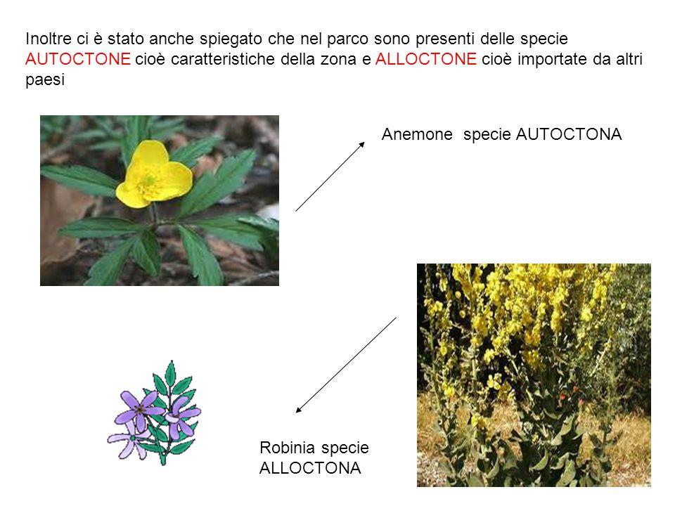Anemone specie AUTOCTONA Robinia specie ALLOCTONA Inoltre ci è stato anche spiegato che nel parco sono presenti delle specie AUTOCTONE cioè caratteris