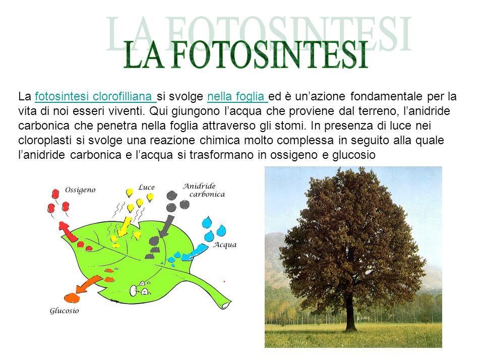 La fotosintesi clorofilliana si svolge nella foglia ed è un'azione fondamentale per la vita di noi esseri viventi. Qui giungono l'acqua che proviene d