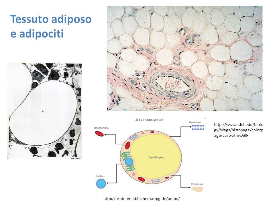 http://proteome.biochem.mpg.de/adipo/ Tessuto adiposo e adipociti http://www.udel.edu/biolo gy/Wags/histopage/colorp age/ca/watmv.GIF