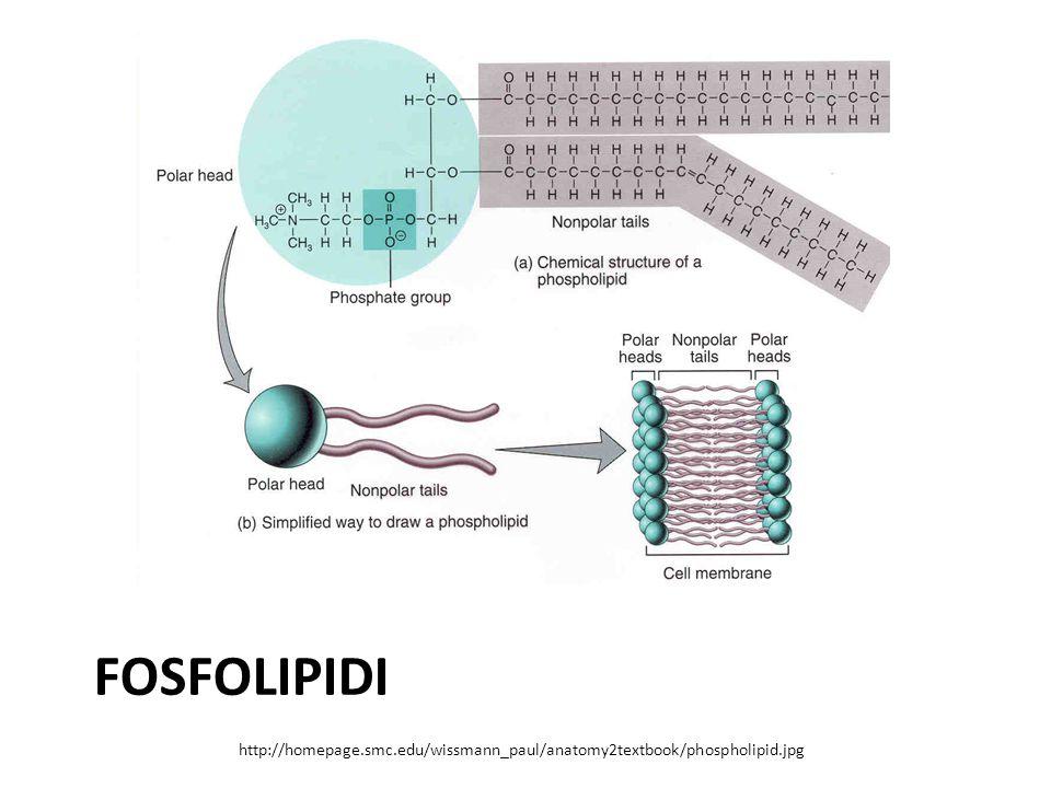 FOSFOLIPIDI http://homepage.smc.edu/wissmann_paul/anatomy2textbook/phospholipid.jpg
