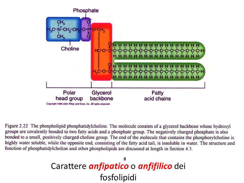 Carattere anfipatico o anfifilico dei fosfolipidi