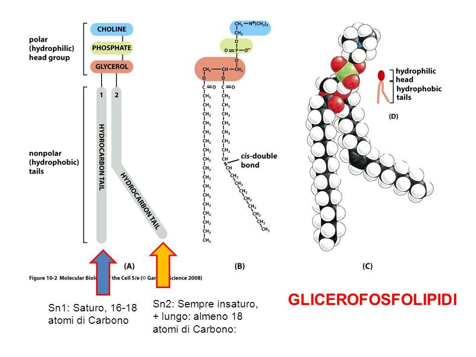 Sn1: Saturo, 16-18 atomi di Carbono Sn2: Sempre insaturo, + lungo: almeno 18 atomi di Carbono: GLICEROFOSFOLIPIDI