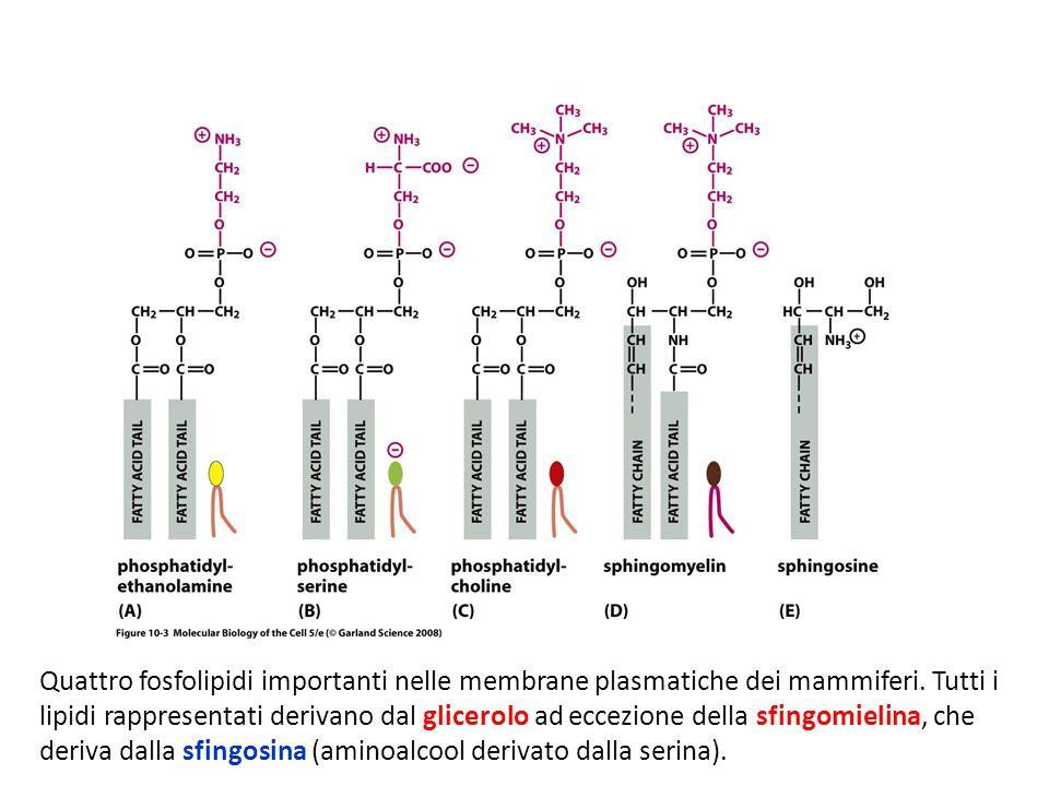 Quattro fosfolipidi importanti nelle membrane plasmatiche dei mammiferi. Tutti i lipidi rappresentati derivano dal glicerolo ad eccezione della sfingo
