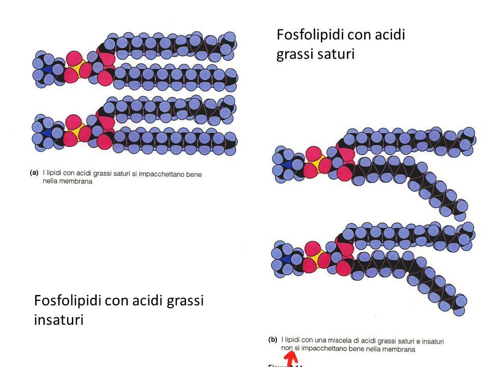 Fosfolipidi con acidi grassi saturi Fosfolipidi con acidi grassi insaturi