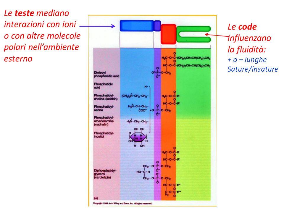 Le teste mediano interazioni con ioni o con altre molecole polari nell'ambiente esterno Le code influenzano la fluidità: + o – lunghe Sature/insature