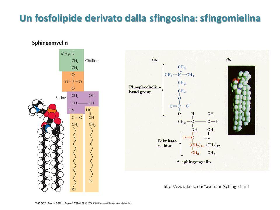 Un fosfolipide derivato dalla sfingosina: sfingomielina http://www3.nd.edu/~aseriann/sphingo.html
